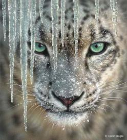 You can complain about the cold until you see this looking in at you. Then you forget about the cold. Sometimes a new problem makes the old problem seem insignificant.: Animals, Big Cats, Beautiful, Bigcats, Leopards, Frrrantic, Wild Cats, Snow Leopard, E