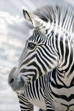 Zebra: Animals, Animal Kingdom, Creature, Beautiful, Zebra Smile, Wildlife, Photo, Zebras