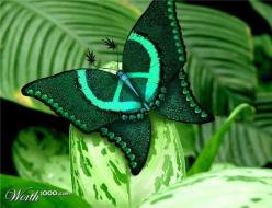 "☮ American Hippie Art ~ Nature .. Rare ""Wings of Love"" Butterfly...looks like a Peace sign: Animals, Nature, Butterflies, Peace Signs, Green, Beautiful, Peace Butterfly, Rare Wings"