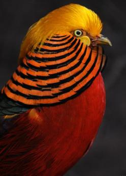 Chinese Golden Pheasant is native to forests in mountainous areas of western China, but feral populations have been established in the United Kingdom and elsewhere.  The adult male is 90–105 cm in length, its tail accounting for two-thirds of the total le