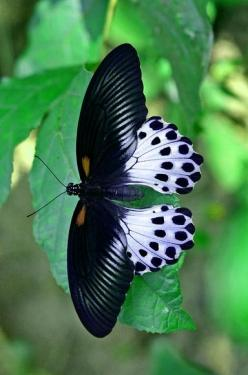 Classic Black & White still wins in my book.... love this Butterfly's wing pattern. New inspirations.....