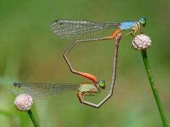 Damselflies  Photograph by Yeo Weng Sang, My Shot    A pair of mating damselflies forming a heart shape when mating