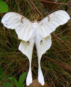 wooooow what a gorgeous specimen It's like a ghosty luna moth i love this wowie zow bow chicka pow what a cutie