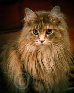 Fiona - Fine Art Photography of a Queen Maine Coon Cat: Kitty Cats, Beautiful Cats, Una Mainecoon, Maine Coon Cats, Mainecoon Gatti, Lion Cats, Main Coon, Cats Mainecoons Forestcats