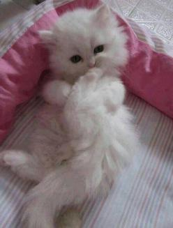 Fluffy white kitten. I would name you sugar plum lol.: Cats, Animals, White Fluffy Kittens, Cute Fluffy Kittens, Fluffy White, Box, Kitty, White Kittens