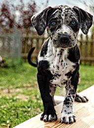 Louisiana Catahoula Leopard Dog. Freakin beautiful