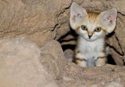 Sand cat- ahh! Cuteness overload!!!