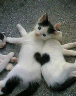 29 Rare Animals That Are Made Up Of Two Entirely Different Halves: Kitty Cat, Heart Kittens, So Cute, Heart Cats, Cute Animals, Valentine, Adorable Animal, Socute