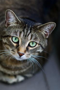 """Acrobat, diplomat and simple Tabby cat.  He conjures tangled forests in a furnished flat."" --Michael Hamburger: Beautiful Green Eyes, Beautiful Cats, Cat Deputy, Beautiful Eyes, Brown Tabby Cat, Bobby Jo, Animal"