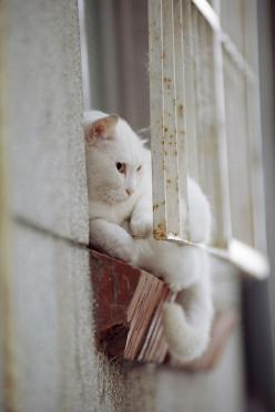 """His curiosity demands that he know what is behind each door and over each horizon."" --Author Unknown: Cats Cats, Cats Gatos, Gatos Cats, White Cats, Window Cats, Cat S, Cats And Windows, Cats In Windows, Cats Kats"