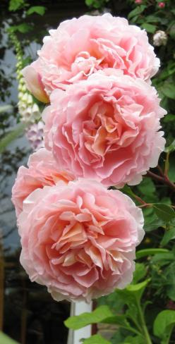 Abraham Darby, another wonderful rose from the British hybridizer David Austin.: Gorgeous Rose, English Rose, Beautiful Rose, David Austin Rose, Favorite Rose, Flower, Austen Rose