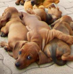 ... and you thought the school bus was crowded!: Dachshund Puppies, Puppy Pile, Dachshund Pile, Doxie S, Wiener Dogs, Dachshund S