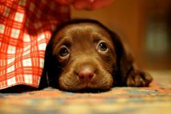 Awwwww look at those eyes...who could deny a face like that...too stinking cute..: Cute Puppies, Chocolate Lab Puppies, Chocolate Labs, Baby Animal, Chocolate Labrador, So Sad, Puppy Eyes