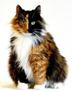 beautiful  my college roomie had a cat just like this.  Cleo.  Great Cat & lots of fun.: Kitty Cats, Beautiful Cats, Calico S, Chimera Cat, Calico Cats, Cat S, Cats Kittens, Cat Lady