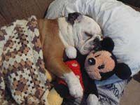 bulldogs and mickey mouse.... two of my favourite things!: Heart Bullies, Engelse Bullies, Sleepy Baby, Irresistible Bullies, English Bulldogs, Engelse Bulldogs, Stuffed Animal, Bull Dogs
