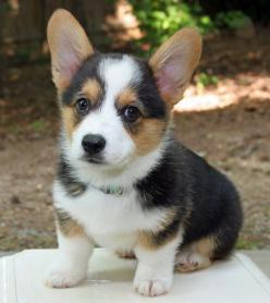 Corgies have to be the cutest puppies ever-: Welsh Corgi Puppies, Baby Corgi, Corgi Dog, Welsh Corgis, Pembroke Welsh Corgi, Corgi S, Corgi Cutie, Pembroke Corgi