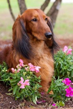 Dachshunds, incredibly noble.: Dachshunds Incredibly, Long Haired Dachshund, Exclusively Doxies, Haired Dachshunds, Dachshund Dog, Wiener Dogs, Animal