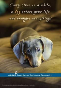 Dachshunds: Weenie Dogs, Doxie S, Doxies, Weiner Dogs, Dachshund S, Wiener Dogs, Animal