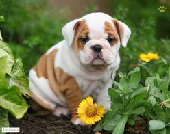 English Bulldog Puppy for Sale: Bulldogs Puppies, English Bulldog Puppy For Sale, English Bulldog For Sale, English Bulldogs Puppy, English Bulldog Puppies, Bulldog Puppies For Sale, Dogs And Puppies For Sale, Bull Dog Puppies For Sale, Bull Dogs