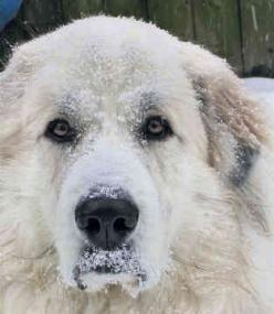 great pyrenees | Great Pyrenees Breed | Cute Pictures | Animal Photos: Pyrenees Abe, Pyrenees Dogs, Pets Animals, Pyrenees Awwww, Pyrenees Puppies Dogs, Pyrenees Amos, Pyrenees Big, Great Pyrenees Dog, Pyrenees Breed