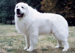 Great Pyrenees ~ Heritage is that of a flock-guarding dog, to protect sheep or livestock from predators. Now primarily a family companion, but not the easiest dog to live with. He has a watchful, protective nature and is gentle with children. Weighs 85 to