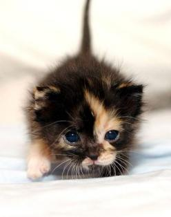 have ALWAYS wanted a calico cat like this one-it will happen someday. it will i say.: Adorable Kittens, Baby Kittens, Blue Eyes, Kitty Kitty, Calico Cats, Cats Kittens, Cute Kittens, Baby Cat