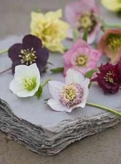 helleborus: Helleborus Beautiful, Beautiful Blooms, Flower Power, Beautiful Winter, Floral, Raybansunglasses, Flower
