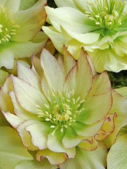 "Helleborus Winter Jewels ""Golden Lotus"" Lenten Rose, Hellebore Type: Perennials,Groundcovers Height: Short 12 (Plant 2 apart) Bloom Time: Early Spring to Late Spring  Sun-Shade: Mostly Sunny to Full Shade  Zones: 5-8   Find Your Zone Soil Conditio"