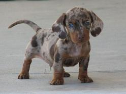 Here Are 22 Adorable Dog Cross-Breeds You've Never Heard Of. The Last One Will Melt Your Heart.: Chocolate Dapple, Dachshund Puppies, Dapple Dachshund, Blue Eyes