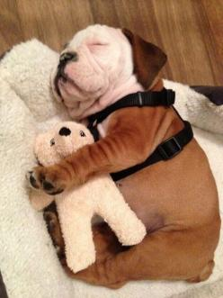 It's a rainy day,so I can sleep 5 more minutes #funnydogs: Nap Time, Englishbulldog, Teddy Bears, English Bulldogs, Puppys, Stuffed Animal