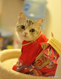 kimono kitty: Kitty Cats, Kitteh, Funny Cat, Kitty Kitty, Cat S, Kitty Kimono, Kimono Kitty