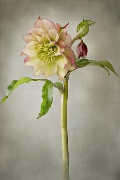 ~~ Lenten Spring ~ Helleborus Orientalis Hybrid 'Harvington Double Apricot' by Jacky Parker Floral Art~~: Flowers Hellebores, Botanical Illustration, Amazing Flowers, Flowers Photo Illustration, Beautiful Flowers, Botanical Beauty, Flower Photogra