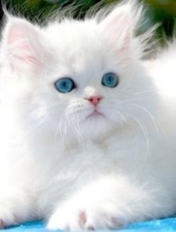 Ragdoll kitten: Beautiful Cat, Kitty Cat, Persian Kitten, Persian Cat, Adorable Animal, White Cat, Kittycat