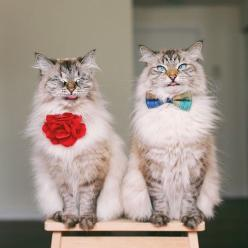 so fancy.: Cats Cats, Kitty Cats, Breeds Of Cats, Bowtie, Cute Cats, Fancy Cats, Cats Inlove, Dapper Cats, Snazzy Cats