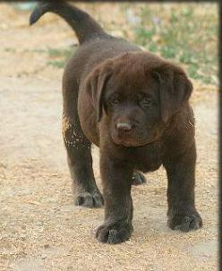 Someday, when Emma is better trained or is too old to care about other dogs.... We will have a chocolate lab. So cute!!!!: Pets Animals, Chocolate Labrador Retriever, Chocolate Labrador Puppies, Chocolate Lab Puppies, Chocolate Labs, Cute Labrador Puppies