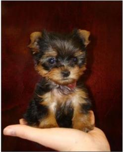 tea cup yorkie ... my dream dog <3 <3 I'm getting one hopefully at the end of next year~ 2014!: Adorable Animals, Yorkshire Terrier, Yorkie Puppies, Animals Puppies Precious, Dogs Puppies, Yorkie Cutie, Little Dogs