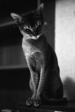 this cat has more class in the tip of her tail than I could ever hope to have :)): Cats Cats, Kitty Cat, Beautiful Cats, Abyssinian Cat, Pretty Cat, Kitty Kitty, Cat S, Kittycat