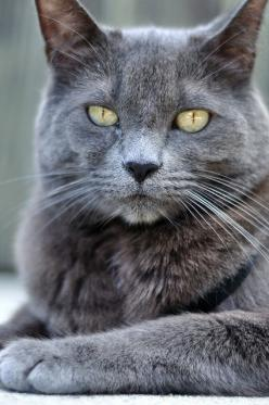 .This cat looks like my Smokey who crossed the Rainbow Bridge two weeks ago (14 yrs. old).    In memory of Smokey.......: Cats Cats, Grey Cat, Beautiful Cats, Blue Cats, Gray Cat, Cuties Cats, Pretty Cat, Baby Cat