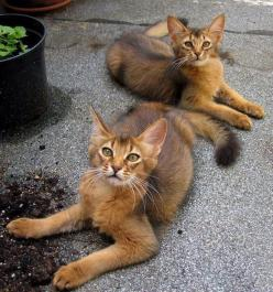 This is what my kitty is starting to look like scares me I think they're beautiful but is it a Bengal or something? No not a Bengal Tiger obviously. But what breed is it?: Somali Cats, Kitty Cat, Beautiful Cats, Abyssinian Cat, Haired Abyssinian, Pret