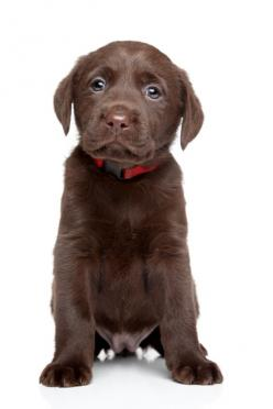 What to expect from your new Labrador puppy: Brown Lab Puppy, Aw Labrador, Chocolate Labs Puppy, Black Labs, Chocolate Lab Puppy