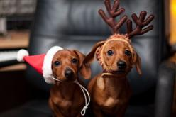 You mean I dressed up for the wrong Holiday? I couldn't tell by the commercials! #cuteoverload: Christmas Dachshund, So Cute, Christmas Card, Christmas Dog, Christmas Doxie, Merry Christmas