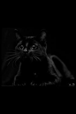 """""""I wish I could write as mysterious as a cat."""" --Edgar Allan Poe British Bombay cat"""