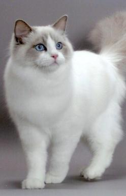 """There is something about the presence of a cat that seems to take the bite out of being alone."" --Louis J Camuti: Ragdoll Cat, Kitty Cats, Fluffy Kitten, Kitty Kitty, Rag Doll, Cats Kittens, Animal"