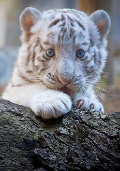 A 7-year-old white tiger sits with one of her cubs at Tobu Zoo in Miyashiro, near Tokyo. Four newborn white tiger cubs made their first public appearance at the zoo.: White Tigers, Big Cats, Animals, Mother, Beautiful, Bigcats, Baby