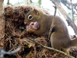 Awwwww......squirrel with baby in their nest home in a tree.