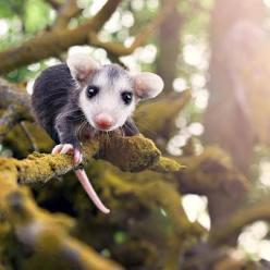 baby possum on a mossy branch - is there more cute than this today?