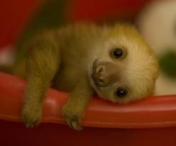 BABY SLOTH @Kimberly Peterson Peterson Peterson Sherrington hahaha all I can think about was when Emily was telling people what animal they look like! Lol