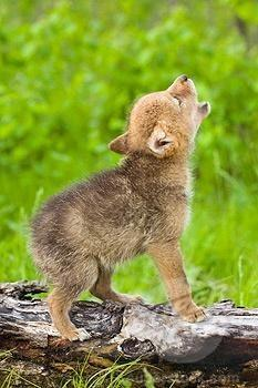 Baby wolf practices howling