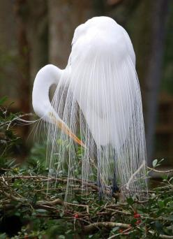 Egret grooming. These birds were almost shot into extinction in the early 1900's simply for their beautiful feathers that were popular on women's hats.: Animals, Nature, Creatures, Beautiful Birds, Beauty, Feathers, White Egret, Photo