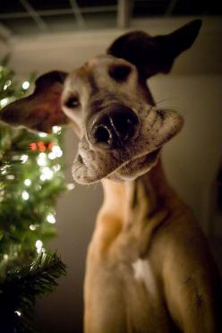 Frisbee? What Frisbee? I didn't see any fribee wrapped up under the tree!: Doggie, Great Danes, Animals, Dogs, Funny Face, Pet, Puppy, Smile